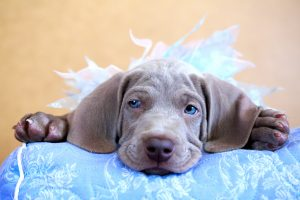 weimaraner blue puppy indoor portrait