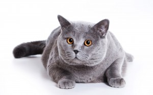 blue-british-cat-on-a-white-background
