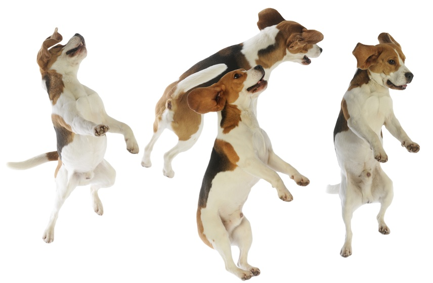 composition de chiens de race beagle en plein vol